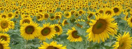 veld zonnebloemen vakantie Frankrijk